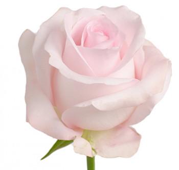 Розы сорта sweet akito оптом из Эквадора