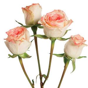 розы сорта Antara оптом из Эквадора