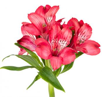 Заказать оптом цветы с доставкой. Альстромерия Mariam оптом из Эквадора