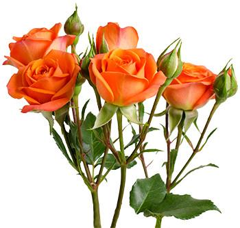 розы сорта Babe оптом из Эквадора