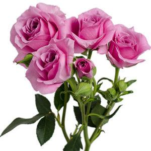 Розы сорта Blue Moon оптом из Эквадора