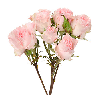 розы сорта Constellation оптом из Эквадора