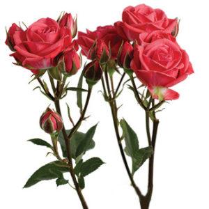 Оптовые поставки розы сорта Coral Duchess из Эквадора