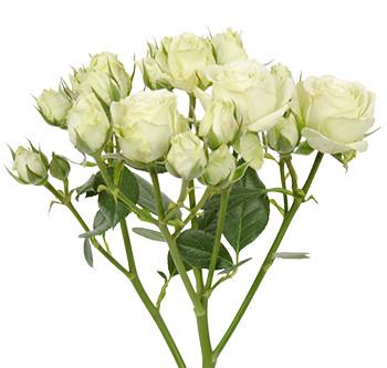 розы сорта Cream Irischka оптом из Эквадора