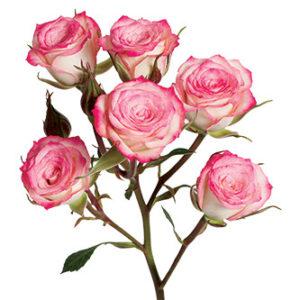 Кустовая роза сорта Electra оптом из Эквадора