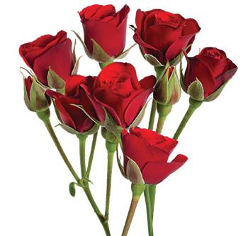 розы сорта Fire King Folies оптом из Эквадора