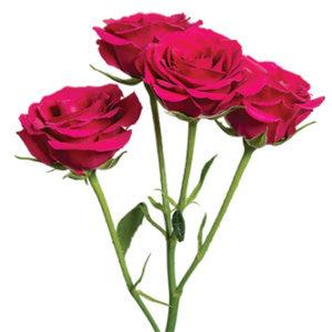 кустовая роза сорта Gem Star оптом из Эквадора