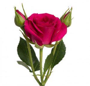 розы сорта Girlie-Folies оптом из Эквадора