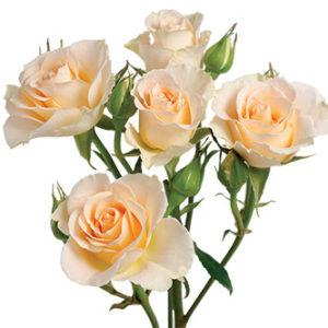 розы сорта Girlie Folies оптом из Эквадора