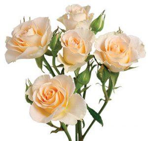 Кустовая роза сорта Girlie Folies оптом из Эквадора