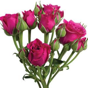 Кустовая роза сорта Hot Majolika оптом оптом из Эквадора