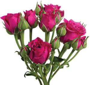 Розы сорта Hot Majolika оптом из Эквадора