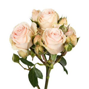 розы сорта Irischka оптом из Эквадора