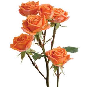 Розы сорта Mambo оптом из Эквадора