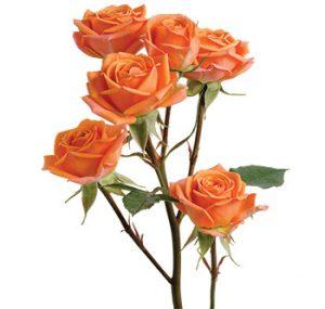 Заказать кустовые розы сорта Mambo оптом из Эквадора