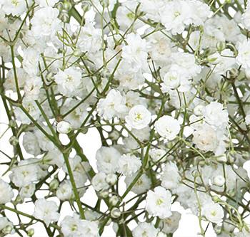 Заказать цветы оптом с доставкой из Эквадора. Цветы Gypsophila Mirabella оптом из Эквадора