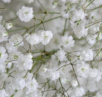 Оптовые поставки цветов Гипсофила с доставкой из Эквадора. Цветы Гипсофила оптом из Эквадора