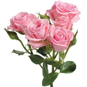 розы сорта Odilia оптом из Эквадора