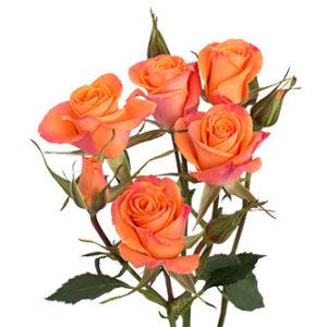 Розы сорта Orange Star оптом из Эквадора