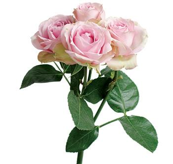 розы сорта Pink Irischka оптом из Эквадора