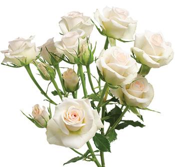 розы сорта Porcelina оптом из Эквадора
