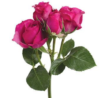Поставки розы сорта Purple Irischka оптом из Эквадора
