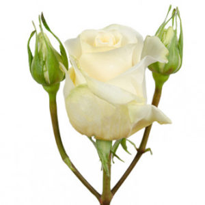 розы сорта RVR Creme de la Crem оптом из Эквадора