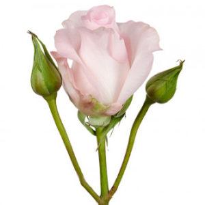 розы сорта RVR Sweet Akito оптом из Эквадора