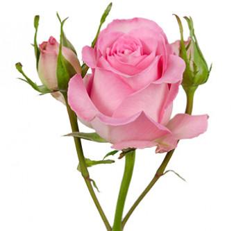 розы сорта RVR Sweet Unique оптом из Эквадора