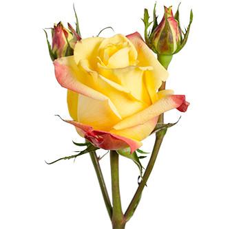 розы сорта RVR Tequila Sunrise оптом из Эквадора