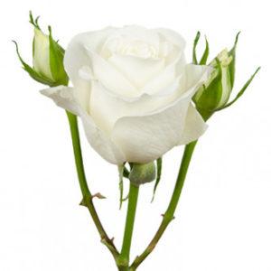 розы сорта RVR Tibet оптом из Эквадора