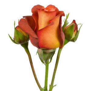 Розы сорта RVR Coffee Break оптом из Эквадора