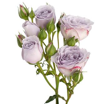 Оптовые поставки розы сорта Silver Mikado из Эквадора
