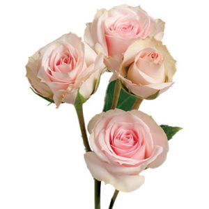 розы сорта Star Blush оптом из Эквадора