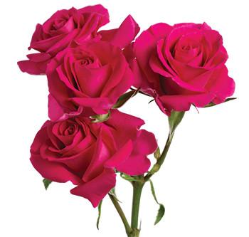 Розы сорта Super Nova оптом из Эквадора