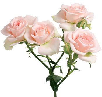розы сорта Sweet Sara оптом из Эквадора