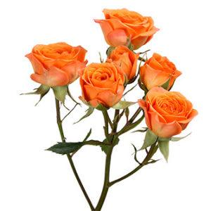 Розы сорта Tangerine оптом из Эквадора