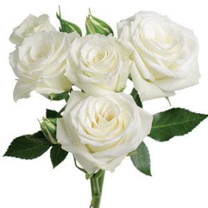 розы сорта Viviane оптом из Эквадора