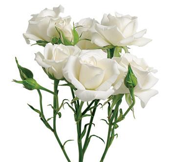 розы сорта White Majolika оптом из Эквадора