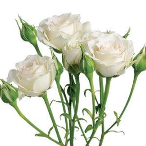розы сорта White Mikado оптом из Эквадора