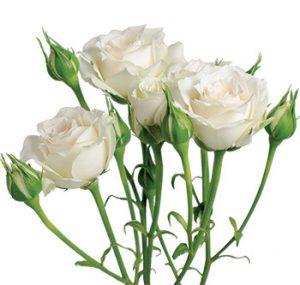 Кустовые розы сорта White Mikado оптом из Эквадора