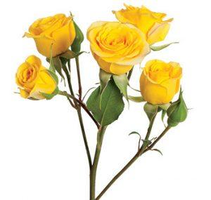 Кустовая роза сорта Yellow Babe оптом из Эквадора