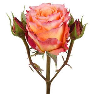 розы сорта free spirit оптом из Эквадора