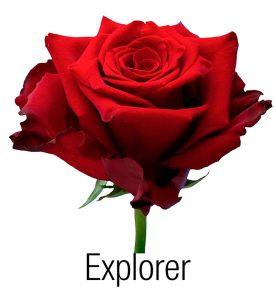 Красная роза Explorer оптовые поставки из Эквадора