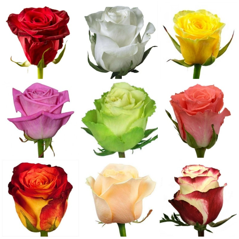 Роза МИКС из Эквадора
