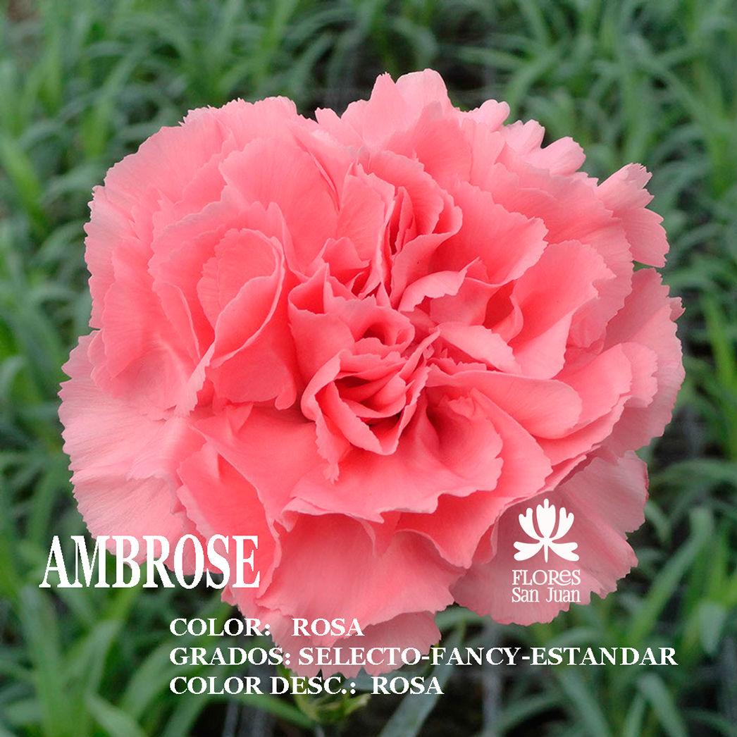 Гвоздика ambrose оптом