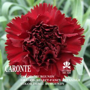 Гвоздика Caronte оптом