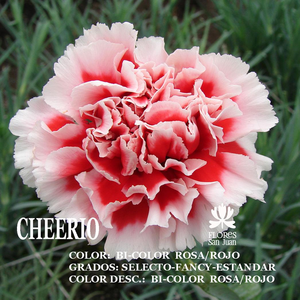 Гвоздика Cheerio оптом