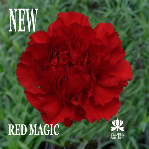 Гвоздика Red Magic Колумбия