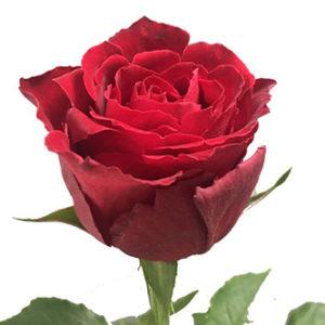 Роза из Кении к свободной покупке. Приход 24.09.2019.